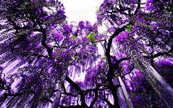 Parque de Flores Ashikaga, Japón