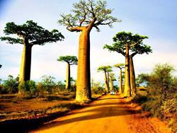 Baobaballee, Madagaskar