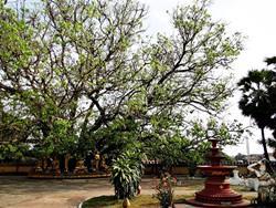 Bodhi Tree, India