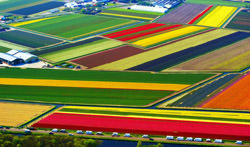 Lisse Tulip Fields, Netherlands