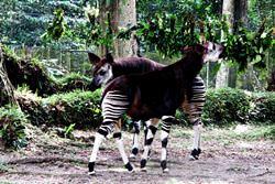 Okapi-Wildtierreservat, Congo