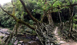 Root Bridges Brücke, Indien