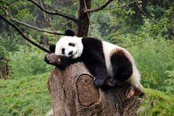 Резерваты Большой Панды, Китай