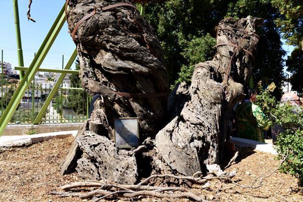 Oak of Mamre, Palestine