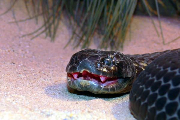 Rancho de Serpientes, Australia