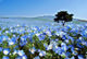 1 out of 12 - Hitachi Seaside Park, Japan