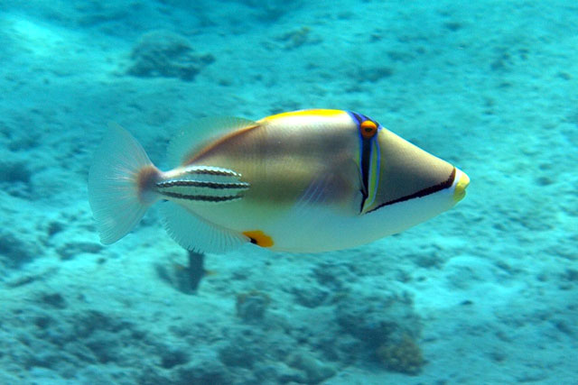 Pin hawaiian tropic on pinterest for Red sea fish